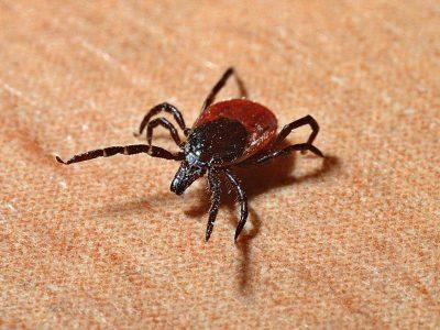 Vad är Borrelia och hur vet jag om jag är smittad?